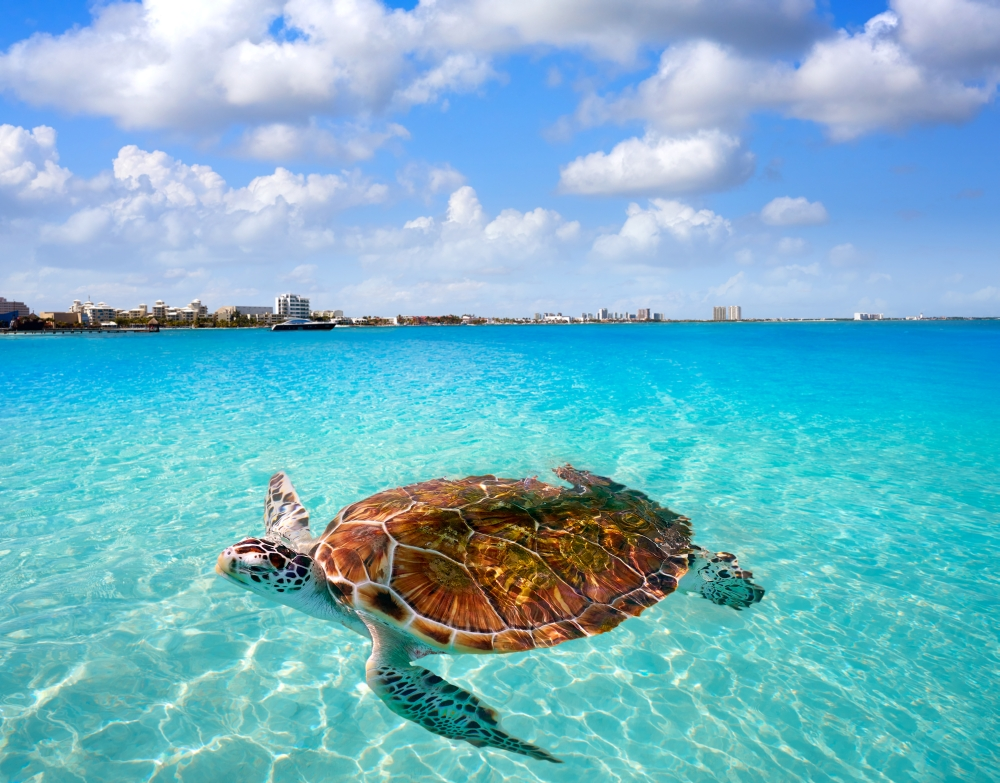 bigstock-Cancun-beach-turtle-photomount-212954197